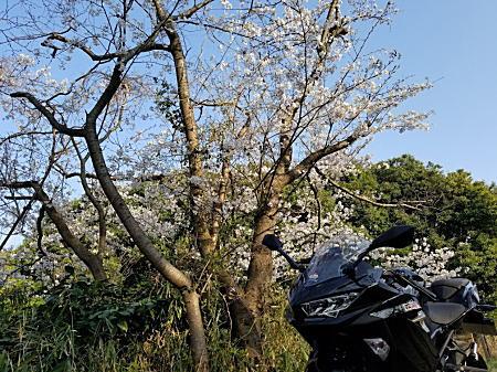 '18Ninja400+桜Ⅰ.jpg