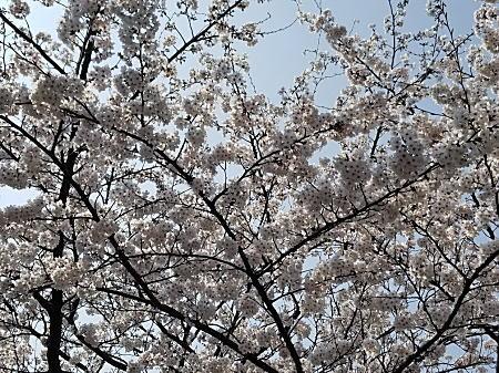 桜3.jpg
