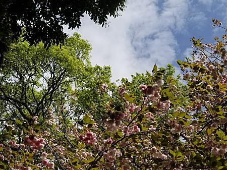 鎌倉遅咲きの桜.jpg